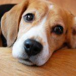 飼いやすい小型犬のおすすめランキング鉄板系【2016】
